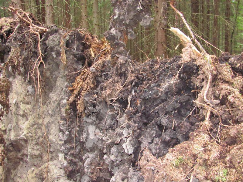 uhliky-a-skvara-ve-vyvratu-stromu
